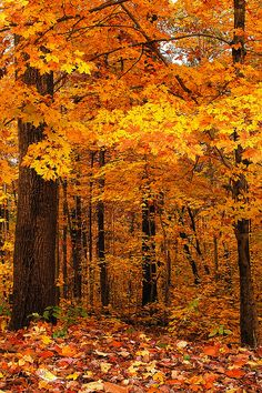 The Yellow Forest  by BamaWester on Flickr.