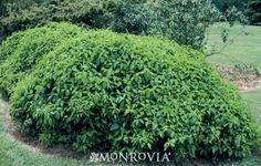 Kelsey's Dwarf Red-Osier Dogwood Cornus sericea 'Kelseyi' - pic during growing season