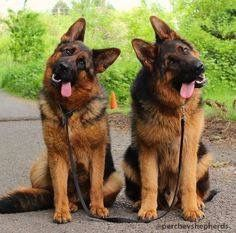 Love those German shepherd head tilts! And those little tongues!