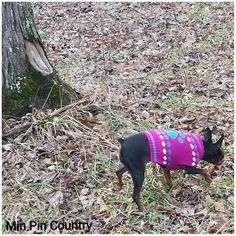 Look who graced our walk w her presence.  . . . #nofilterneeded #Squirt #aka #queen #family #dog #MinPin #mamasgirl #furever #home #spoiled #wrotten #bratt #MinPinCountry #walking #woods #outdoors #country #leaves  #countryside #countryscenery #counrtyliving #mybackyard #80acers #80acresforsale #nature #howevalley #kentucky #samsungcameraphone  #JehovahCreationIsAwesome