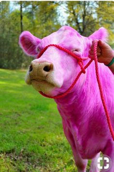 Pink it is.I never saw a pink cow, I never hope to see one, but I can tell you anyway, I would rather see than be one.// a cavaet . maybe being pink with prevent the horrid trip to the slaughterhouse. here is hoping Pink Animals, Cute Animals, Pretty In Pink, Pink And Green, Purple, Pink Cow, Pink Milk, Barbie, Everything Pink