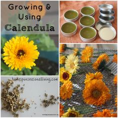 Calendula is an amazing herb and flower Beautiful useful edible Its one of my favorite floral blooms in the garden and something I plant much of every year Healing Herbs, Medicinal Plants, Permaculture, Herbal Medicine, Natural Medicine, Natural Remedies, Herbal Remedies, Wild Edibles, Growing Herbs