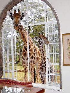 Giraffe Hotel!!   Google Image Result for http://thesuiteworld.com/wp-content/uploads/2011/05/Giraffe-Manor-Nairobi-kenya-africa-boutique-hotel.jpg  I think this might be my dream hotel.  I would love my own personal giraffe!