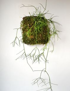 These wall hanging pieces feature jungle cactus specimens from genera such as Rhipsalis, Hatiora and Lepismium, mounted to cork with sphagnum moss. As epiphytes, jungle cacti are extremely versatile p