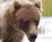 Elu Inlet Lodge   Images and Inspiration   Barren Ground Grizzly Bear