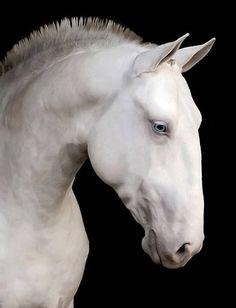 Cremello Stallion - Profile shot.
