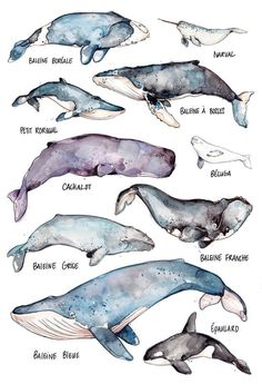 Whales Large Print Whales Species Art Watercolor Marie - Apr Large Poster The Whales By Marie Eve Arpin Art The Right Whale Blue Whale Gray Whale Killer Whale Narwhal Beluga Minke Whale Sperm Whale Humpback Whale And Bowhead Whale Rub Sh Whale Species, Art Et Nature, Image Nature, Nature Artwork, Art Watercolor, Art Aquarelle, Watercolor Landscape Paintings, Gray Whale, Big Whale