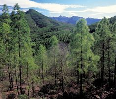 Western Gran Canaria is home to glorious pine forests supporting unique eco-systems, such as this one in the Parque Natural de Tamadaba
