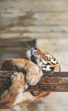 Tiger hangin' in there
