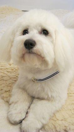 Bichon Bolognese Dog Puppy