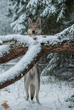 Beautiful wolf in the snow