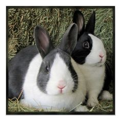 dutch bunnies - Google Search