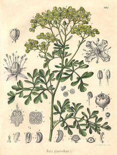 Ruta graveolens for Fibromyalgia