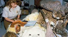 Wildlife trafficking, © John and Karen Hollingsworth/USFWS