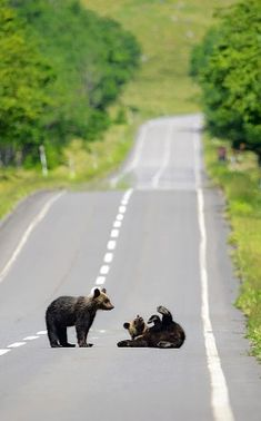 Hokkaido Brown Bear (Ursus arctos yesoensis) エゾヒグマ  #allaboutjapan #view
