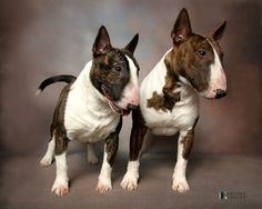 Miniature Bull Terrier Gallery