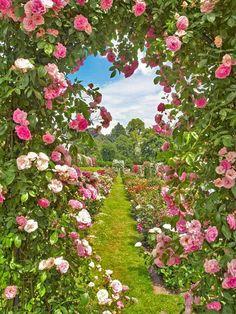 Beautiful rosegarden