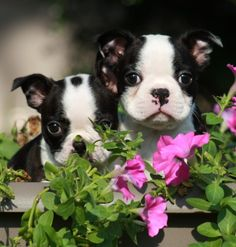 Cute Puppy Pictures, Dog Pictures, Puppy Pics, Boston Terrier Love, Boston Terriers, Dog Love, Puppy Love, Cute Puppies, Cute Dogs