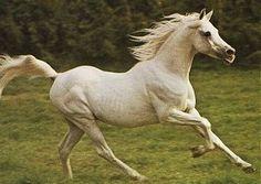 Light Gray Horse | Arabian Knights - Kaisoon