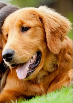 A pretty face -- golden retriever. If I didn't have so many Yorkies I would get Golden Retriever. I love them.