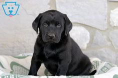 This cutie is a Black Labrador Retriever ready for adventure. He loves running around playing with the children he is currently being raised with. Black Labrador Retriever, Labrador Puppies, Retriever Puppies, Corgi Puppies, Yellow Lab Puppies, Black Puppy, Black Labs, Hunting Dogs, Equine Photography