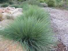 lomandra cracker jack - Google Search