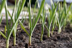 13 Best Mosquito Repellant Plants – Sunny Home Creations Best Mosquito Repellent Plants, Mosquito Repelling Plants, Plants Sunny, Cool Plants, Organic Gardening Tips, Organic Fertilizer, Gardening Hacks, Planter Ail, Planters