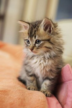Awwwww...not a kitty person but this could change my mind Maine Coon kitten
