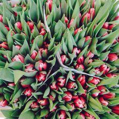 """""""Tulips"""" @Thetransatlanticblog via Instagram"""