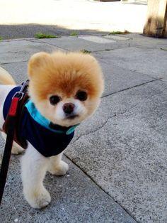 Boo: The World's Cutest Dog