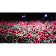 / Buzz  #花をながめて #昭和記念公園 #ポピー #シャーレーポピー #東京カメラ部 #花 #花の写真館 #ファインダー越しの私の世界 #はなまっぷ #IGersJP #team_jp_ #team_jp_flower #photooftheday #poppy #flowerstagram #500px #kf_gallery #loves_japan #flower #flowers #dreamyphoto #tokyocameraclub #floral_secrets #light_nikon #tv_flowers #flowermagic #flowerslovers #flowerpower #flowerstagram #d750 #9vaga_softflowers9 gelinshop.com/...