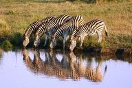 Zebras in the Kruger National Park are a wonderful treat to observe and look at while on safari.  Each zebra has a unique pattern by which they recognize each other and their kids.  http://www.south-african-hotels.com  http://www.south-african-lodges.com