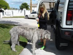 My friend Brandie with Pampered Pooches in Las Vegas...the BEST Petsitter and Dog Walker there is! Brandie brought over a Irish Wolfhound to visit with me.
