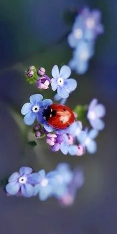 Love the dreamy blue of forget me knot strands and the deep red of the lady bird astride it. Love the dreamy blue of forget me knot strands and the deep red of the lady bird astride it. Beautiful Bugs, Amazing Nature, Beautiful World, Beautiful Flowers, Beautiful Things, Beautiful Creatures, Animals Beautiful, Cute Animals, Tier Fotos