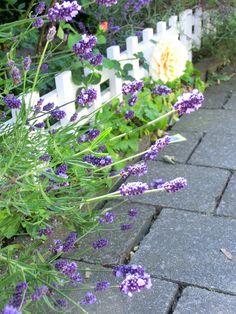 Lavendel, Rose, Pfingstveilchen