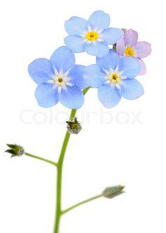 Image of 'Beautiful Forget-me-not (Myosotis) Flowers on White Background' on Colourbox