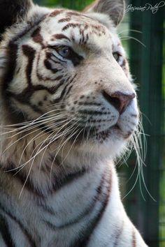 *white tiger by ~DesignTheWild