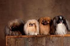 "Click visit site and Check out Cool ""Pekingeses"" T-shirts. This website is top-notch. Tip: You can search ""your name"" or ""your favorite shirts"" at search bar on the top."
