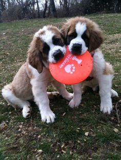 These best friends. | Community Post: 15 Saint Bernard Puppies Who Are Just Too Adorable For Words