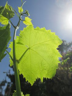 Grape Leaf Vine, Diamond Bar