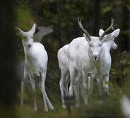 A cluster of white deer has made its home in Boulder Junction since at least the 1950s.