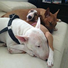 Uplifting So You Want A American Pit Bull Terrier Ideas. Fabulous So You Want A American Pit Bull Terrier Ideas. Bull Terrier Funny, Mini Bull Terriers, Miniature Bull Terrier, English Bull Terriers, Pitbull Terrier, Terrier Dogs, Best Dog Breeds, Best Dogs, Dogs And Puppies