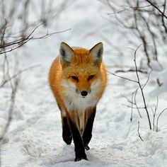 Renard roux / Red Fox by anjoudiscus, via Flickr
