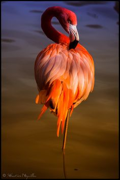 Flamingo - VirusPhoto, get the picture together - Animals Pictures Foto Flamingo, Flamingo Art, Pink Flamingos, Flamingo Tattoo, Pretty Birds, Beautiful Birds, Animals Beautiful, Cute Animals, Exotic Birds