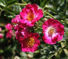 'Hiawatha' Rose Photo