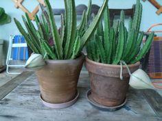 meus pequenos cactus