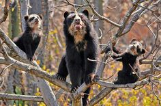 Spectacled (or Andean) bear mother and cubs.