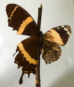 science, mutations, insects, bilateral gynandromorphism (half female, half male)