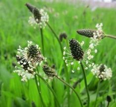 Ribwort Plantain has traditionally been regarded as a mucilage drug. Extract from Ribwort Plantain have revealed several effects as anti-inflammatory, antioxidant, antibacterial, immunostimulant, antitoxic and pro-coagulant effects💪😎💚 Summer Flowers, Colorful Flowers, Wild Flowers, What Do Sheep Eat, Permaculture, Soil Texture, Edible Wild Plants, Wild Edibles, Plantation
