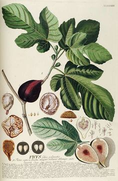 Ficus carica - Wikipédia